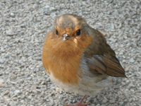 Robin - Photo