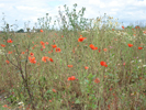 Poppy Field Strensall York 3.30pm 5th July 2007